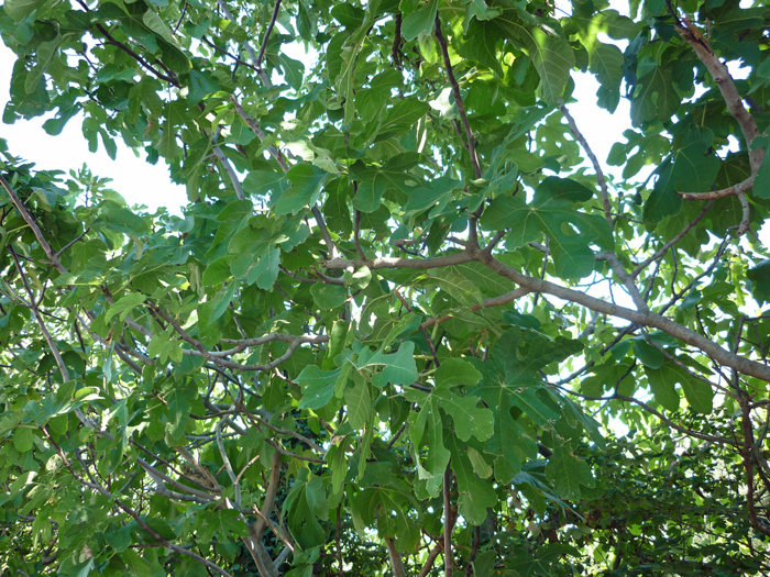 unter-dem-feigenbaum