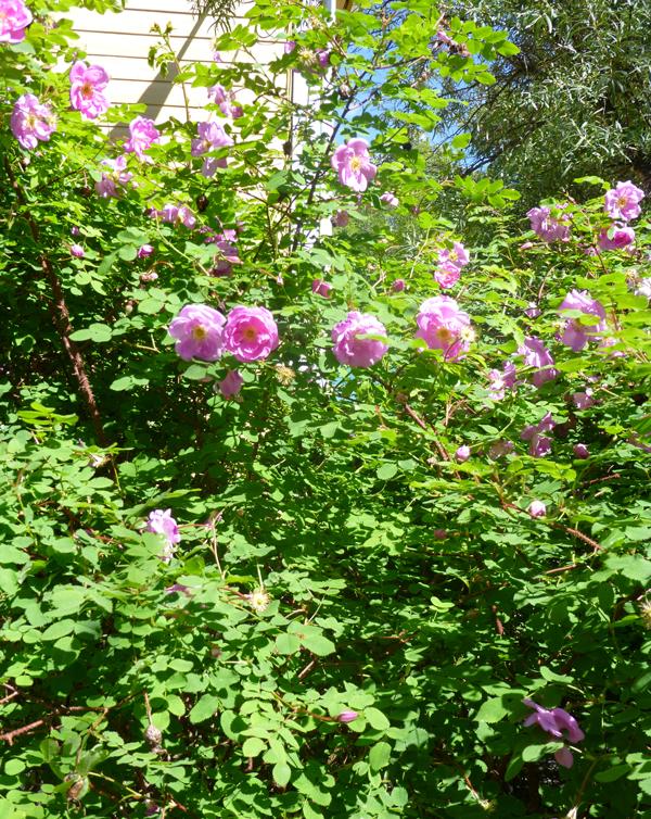 frantsila-midsummer-rose