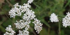 schargarbe-achillea-millefolium