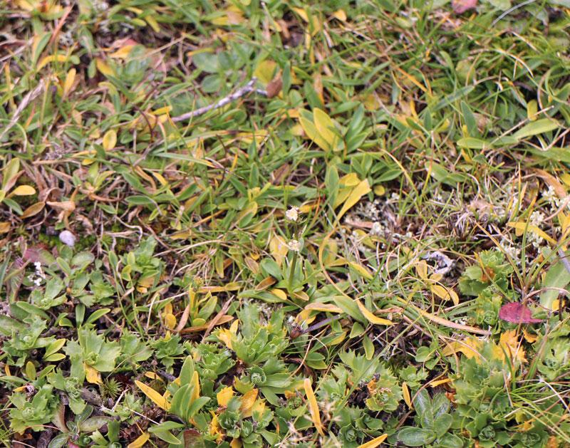 speick-pflanze
