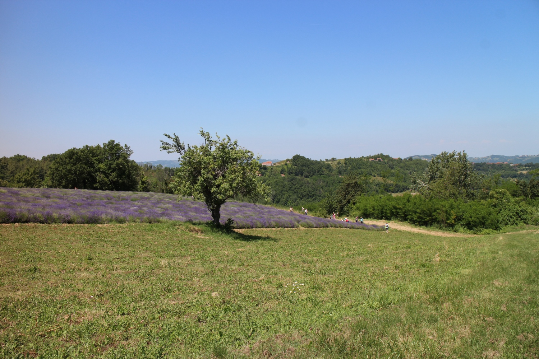 Piemont Lavendel