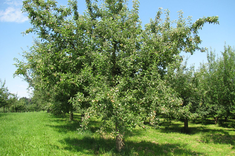 Uttwiler Apfelbaum Mibelle Biochemistry