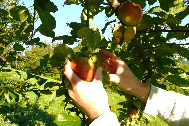 Uttwiler Apfel Mibelle Biochemistry